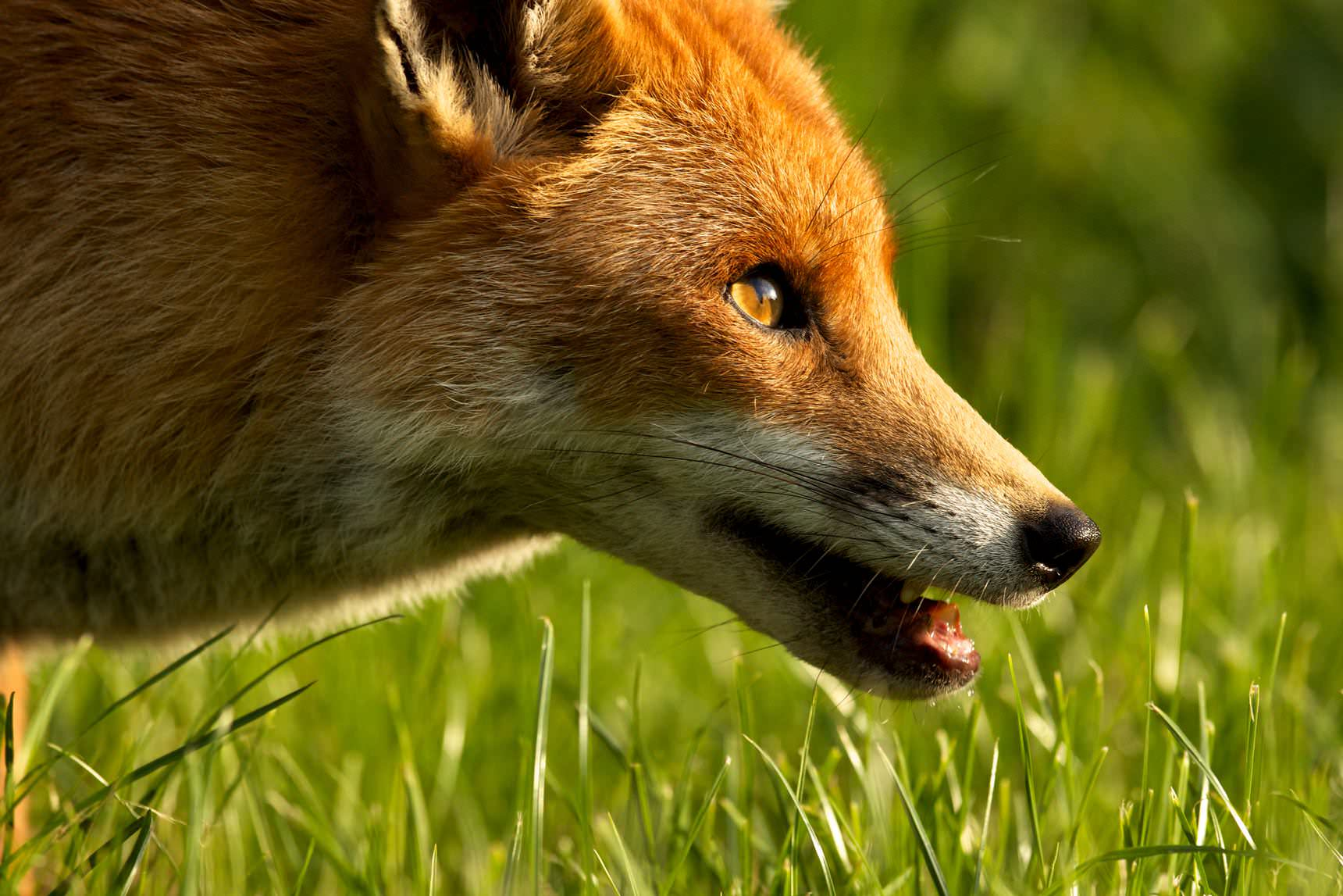Fox prowling at dusk