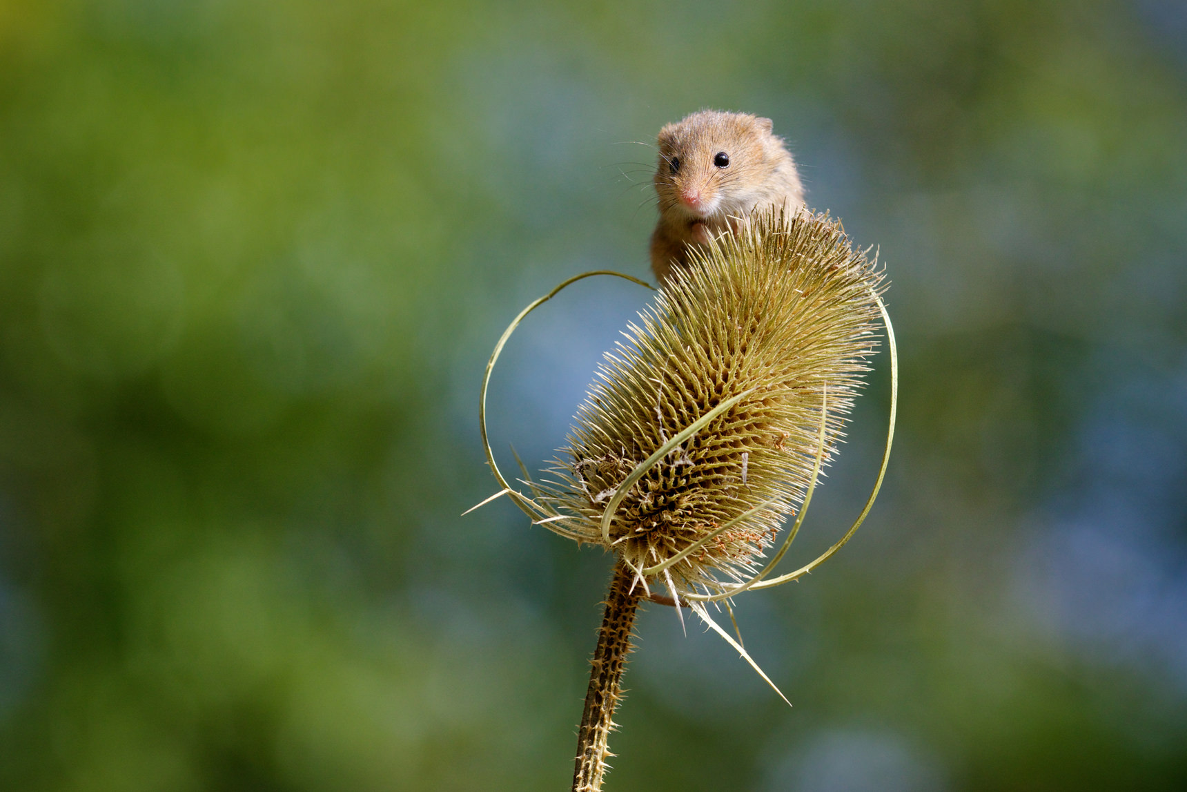 Harvest mouse on thistle