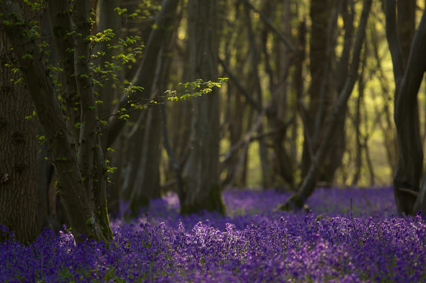 Bluebell Bloom