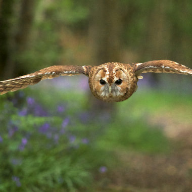 Tawny owl flying over bluebells