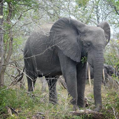 Tembe Elephant