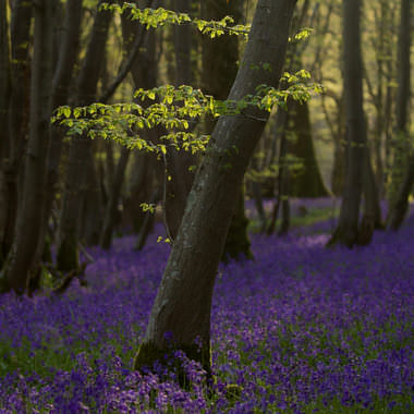 Tree in Bluebells