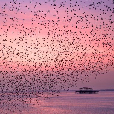 Purple Murmuration
